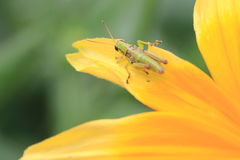 Shining Coneflower and Grasshopper Stock Photos