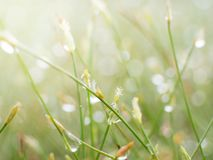 Shining dew on the grass. Beautiful shining dew on the grass Royalty Free Stock Photo
