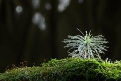 Shining drops on tiny fir tree Stock Photos