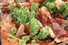Shining Fir Clubmoss. Huperzia[Lycopodium] Lucidula;Columbia Co.,NY Royalty Free Stock Image