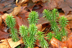 Shining Fir Clubmoss Royalty Free Stock Photography