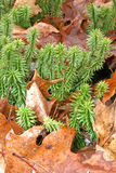 Shining Fir Clubmoss Royalty Free Stock Photo