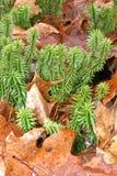 Shining Fir Clubmoss. Huperzia[Lycopodium] Lucidula;Columbia Co.,NY forest floor Royalty Free Stock Photo