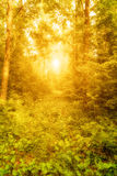 Shining forest Stock Image