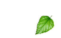 Shining green leaf Royalty Free Stock Photography