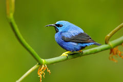 Shining Honeycreeper, Cyanerpes lucidus, exotic tropic blue tanager with yellow leg, Costa Rica. Blue songbird in the nature habit Royalty Free Stock Image