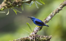 Shining Honeycreeper Male Stock Images