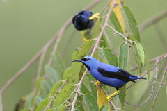 Shining Honeycreepers Royalty Free Stock Photos