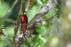 Shining hummingbird in venezuelan rainforest royalty free stock photography