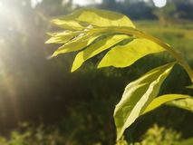 Shining leaves. Beautiful leve with sun light stock photography