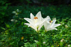 Shining lilies in the green. White lilies in a green garden in summer Royalty Free Stock Photos