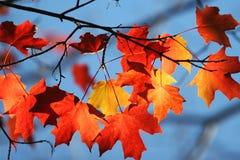 Shining maple leaves Stock Image