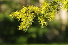 Shining Pine Leaf Stock Photos