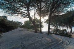 Shining through the pine trees royalty free stock photos