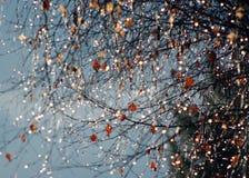 Shining Raindrops on a birch against sun Stock Photos