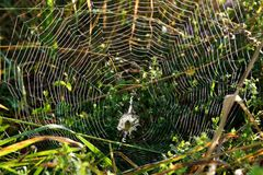Shining spider web with wasp spider Stock Photography