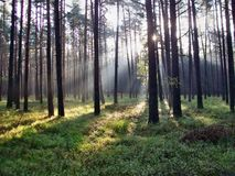 Shining sun in the forest Royalty Free Stock Photos