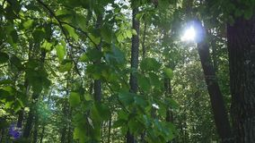 Shining sun through the green crowns of deciduous trees stock footage