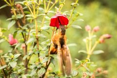 Shining sunbeam howering next to red flower, Colombia hummingbird with outstretched wings,hummingbird sucking nectar from blossom,. High altitude animal in its stock photos