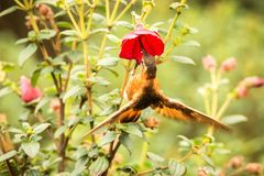 Shining sunbeam howering next to red flower, Colombia hummingbird with outstretched wings,hummingbird sucking nectar from blossom,. High altitude animal in its royalty free stock photography