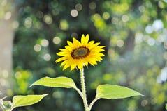 Shining sunflower. Sun shining down on sunflower Stock Images