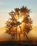 Shining Tree. Sunbeams filtered through the tree and fog Stock Photos