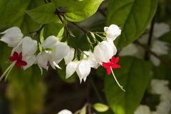 Shining water drops on Bleeding Heart Vine blooming Stock Photos