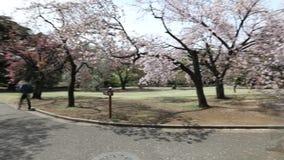 Shinjuku Gyoen con la flor de cerezo almacen de video