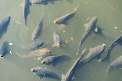 Japanese Koi fish swimming in a pond in Shinjuku Gyoen National Garden, Tokyo, Japan. Shinjuku Gyoen National Garden is a popular Japanese garden in Tokyo, Japan Royalty Free Stock Photo