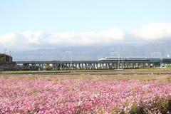 Shinkansen与波斯菊领域的高速火车 免版税库存照片