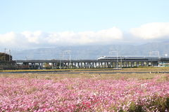 Shinkansen bullet train with cosmos field Royalty Free Stock Photos
