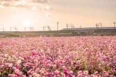 Shinkansen bullet train with cosmos field Stock Photos