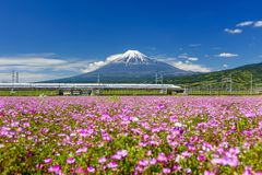 Shinkansen train through Mount Fuji in spring. Shizuoka, Japan - May 05, 2017: Shinkansen run pass through Mt. Fuji and Shibazakura at spring with blue sky on royalty free stock photos