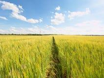 Shinning молодые желтые corns ячменя растя в поле, свете на горизонте Золотые лучи Солнця в ячмене Стоковое Изображение RF