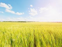 Shinning молодые желтые corns ячменя растя в поле, свете на горизонте Золотые лучи Солнця в ячмене Стоковые Изображения