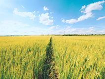 Shinning молодые corns ячменя растя в поле, свете на горизонте Золотые лучи Солнця в barlley Стоковые Фото