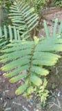 Shinning Amla sapling stock photography