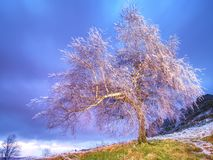 Shinning lód na gałązkach, na gałąź lód zakrywał barkentynę drzewo Zdjęcia Stock