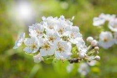 Shinny цветки груши Стоковые Фотографии RF