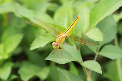 Shinny gold dragon fly Stock Image