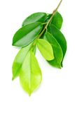 Shinny grüne Blätter lizenzfreie stockbilder