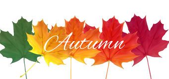 Shiny Autumn Natural Leaves Background. Vector Illustration. EPS10 Royalty Free Stock Images