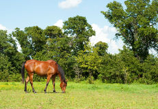 Shiny bay Arabian horse grazing Stock Images