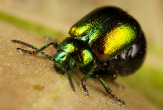 Shiny beetle Royalty Free Stock Images
