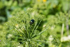 The shiny beetle sits on the umbrella of the hogweed , Altai, Russia stock images