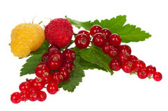 Shiny berries Stock Images