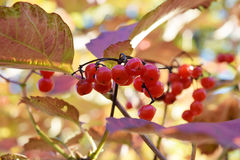 Shiny Berries Royalty Free Stock Photo