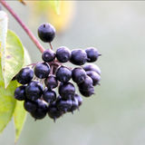 Shiny Black Berries Royalty Free Stock Photos