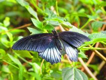 Shiny black butterfly opened winged. Beautiful black butterfly, open winged, settled on a foliage. Was taken at stratford upon avon butterfly farm uk Royalty Free Stock Images