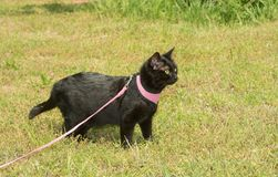 Shiny black cat in pink harness with an an alert look stock photos